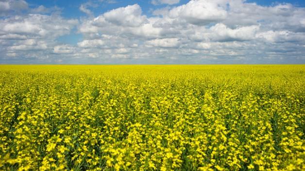 canola-crop